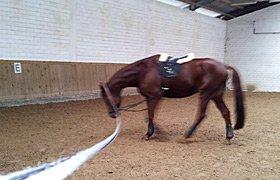 Pferd an der Longe in vorwärts-abwärts Dehnungshaltung
